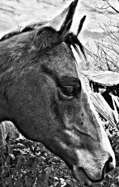 horse blackandwhite