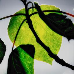 freetoedit green vegetation leaves nature