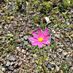 freetoedit pink flower saturday